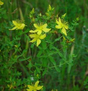 Hypericum_perforatum_plant2
