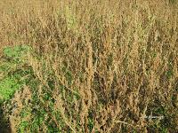 Βλίτο–Amaranthus sp.