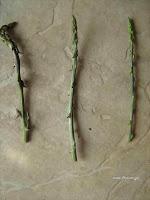 Σπαράγγια άγρια-Asparagus sp.