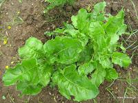 Σέσκουλο-Beta vulgaris