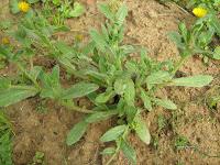 Καλέντουλα-Calendula officinalis