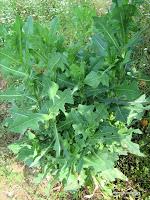 Πετρομάρουλο-Lactuca serriola