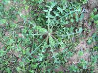 Ζοχός-Sonchus oleraceus