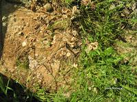 Καυκαλήθρα-Tordylium apulum