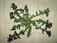 Αγριοζοχός-Urospermum picroides