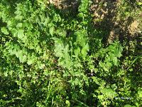 Τσουκνίδα-Urtica dioica